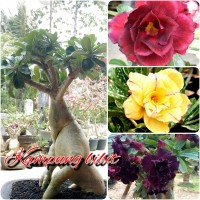 Paket 5 bibit bunga kamboja/adenium 1 pohon 2-3 warna BONGGOL BESAR
