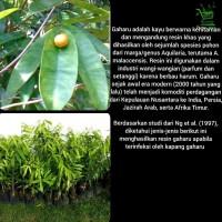 [terlaris|termurah Bibit Pohon Gaharu Aquilaria Malaccensis - Tanaman