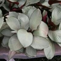 calathea silver Maranta silver tanaman indoor