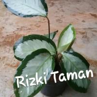 Calathea picturata tanaman indoor daun silver strip hijau tua
