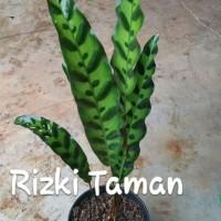 Calathea lancifolia / bulu ayam tanaman indoor