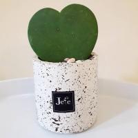 Cactus Hoya Love Stone