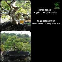 pohon bonsai anggur brazil - jaboticaba