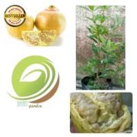 bibit tanaman buah delima putih/pohon delima(obat herbal)