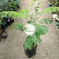 Bibit Pohon Pete - Buah Petai Nasi Tanaman Pete Okulasi Cepat Berbuah