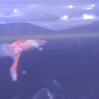 ikan guppy one sword red graet A