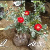 jual pohon bunga mawar merah