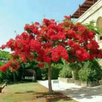 Promo 50gr isi (110) benih biji bibit bunga flamboyan indah