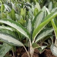 tanaman blanceng susu atau srirejeki