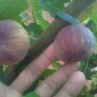 bibit tanaman buah tin brown turki