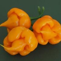 Benih Biji Cabe Yellow Trinidad Scorpion Cabai Kuning Pedas Menyengat
