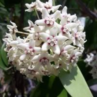 tanaman hias bunga hoya putih (white hoya)
