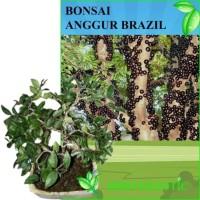 Tanaman Bonsai Anggur Brazil (Jaboticaba)
