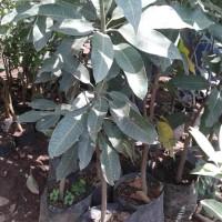 bibit mangga kelapa ukuran buah super jumbo