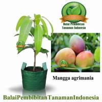 bibit mangga agrimania / bibit buah / tanaman