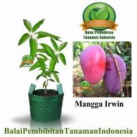 bibit mangga irwin / bibit buah / tanaman