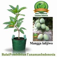 bibit mangga lali jiwo / bibit buah / tanaman