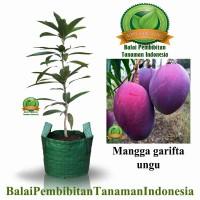 Mangga Garifta Ungu / bibit buah / tanaman