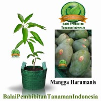 bibit mangga harumanis / bibit buah / tanaman