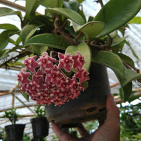 tanaman bunga anggrek hoya merah