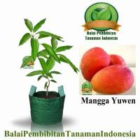 bibit mangga yuwen / bibit buah / tanaman