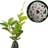 tanaman hoya arnottiana putih