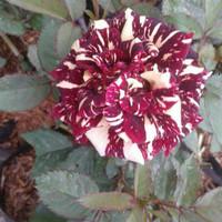 bibit bunga mawar batik