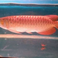 ikan arwana 25-27 cm super red