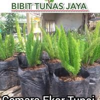 bibit tanaman cemara ekor tupai