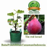 bibit tin red israel / bibit buah / tanaman