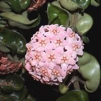 tanaman hias rambat hoya pink