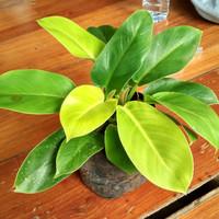 philodendron lemon tanaman indoor