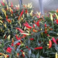 Bibit / Benih / Seed Cabe Sparkler Hot Pepper Mudah Tumbuh