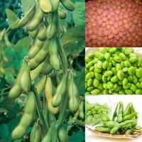 Benih / Bibit / Biji - Kacang Edamame Kedelai Jepang Seeds - IMPORT