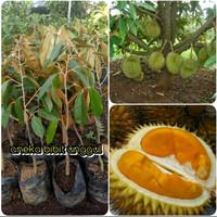 bibit buah durian tembaga okulasi super