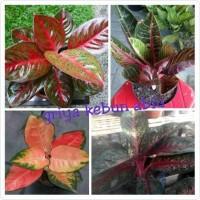 bibit bunga aglonema paket 4 batang(hot lady,red chocin,red sumatra da