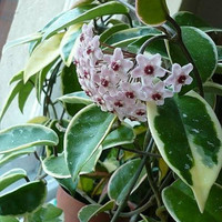 tanaman bunga anggrek hoya varigata pink