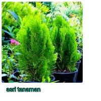 bibit tanaman cemara