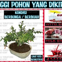 DELIMA POMEGRANADE ( bibit pohon BONSAI sudah berbuah tanpa pot )