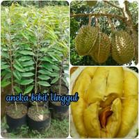 bibit buah durian musangking unggul