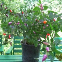 Benih - Biji - Bibit Cabe Hias Cabai Trinidad Purple Coffee Pepper