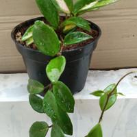 Tanaman gantung Hoya treecolour