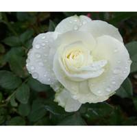 Bibit bunga Mawar putih