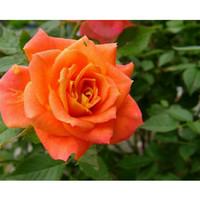 Bibit bunga Mawar salem