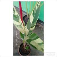 pisang variegata heliconia pisang varigata banana variegata varigata