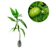 Jual Bibit Buah Mengkudu Bentis Pace Obat Herbal bibit / biji / benih