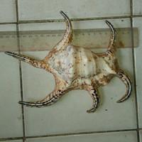 Hiasan Aquarium Ikan Hias Fosil Kerang Asli  Alami P20cm