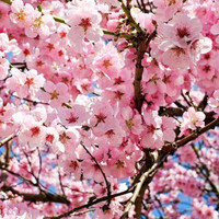 Fragrance oil Japanese Cherry Blossom