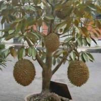 Bibit durian montong super(bisa berbuah di pot)