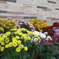 Jual Tanaman Bunga Krisan Di Jakarta Timur Harga Terbaru 2020